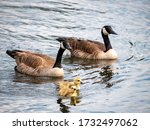 Family Of Geese Swimming Behind ...
