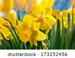 Beautiful Yellow Daffodils....