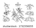Vector Sketch Peach Decorative...