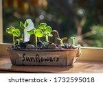 Sunflower Seedling Grown In A...