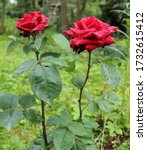 Two Bright Red Roses With...