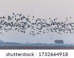 Flying Big Flock Of Greylag...