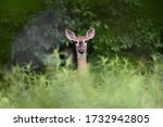 Close Up Of A White Tailed Deer ...