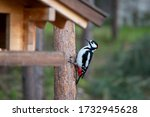 A Large Motley Woodpecker In...