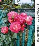 A beautiful lush bush of a pink ...
