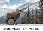 Bighorn Sheep In Snow In Jasper ...