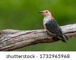 Red Bellied Woodpecker In...