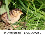 A Pheasant Chick With A Small...