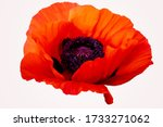 Poppy Red Flower Isolated On A...