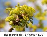 Oak Tree Catkins Flowering In...