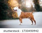 Bull Terrier Show Dog Posing....