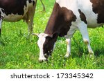 cow eating the grass on green... | Shutterstock . vector #173345342