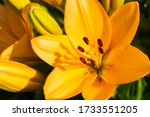 Yellow Madonna Lily Flower...