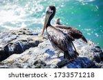 Big Brown Pelican Seating On...
