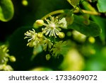 Close Up Of Linden Flowers With ...