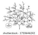 vector sketch citrus fruit... | Shutterstock .eps vector #1733646242