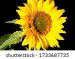 Sunflower Closeup With Nice...