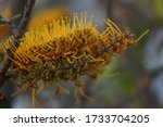 The Flowers Of Grevillea...
