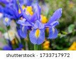 Iris Reticulata  The Netted...