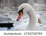 Closeup Of Beautiful White Swan ...
