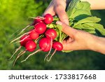 A Bunch Of Radishes In The...