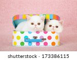 Stock photo white exotic kittens sitting inside colorful small toy suitcase box against pink background 173386115