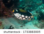 Clown Triggerfish Or Bigspotted ...