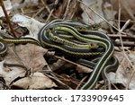 A Pile Of Eastern Garter Snake...