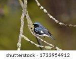 Black Throated Blue Warbler...