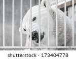 Portrait Of Big Polar Bear In...