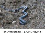 "Closeup On A ""biacco"" Snake..."