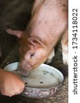 Pig Drinking Water From A Pot...