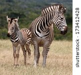 Stock photo cute baby plains zebra standing next to it s protective mother 173412428