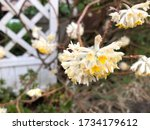 Oriental paper bush flower in...