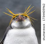 Dreaming Royal Penguin ...