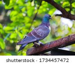 Pigeon On Blurry Background...