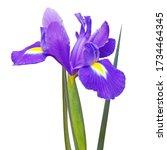 Purple Iris Flower With Leaves...