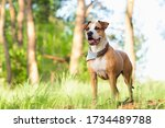 Small photo of Adventure dog in the forest, bright sun lit image. Staffordshire terrier mutt outdoors, happy and healthy pets concept
