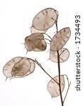 The Plant Lunaria Annua Agaist...