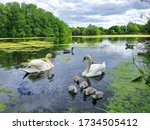 New Cygnets And Swans Swimming...