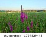Lakefront Reddish Purple...
