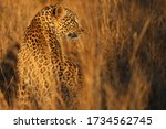 A Leopard Looks Out In The...