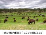 Bison On Grass Field In South...