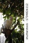 Turkish Angora Cat - Fluffy Angora cat - white cat with blue eyes - Playing outside