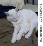 Turkish Angora Cat - Sleeping - Fluffy Angora Cat sleeping - White cat with blue eyes