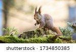 Surprised Red Squirrel  Sciurus ...