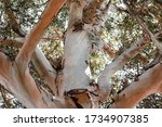 Close Up Of The Large Trunk Of...