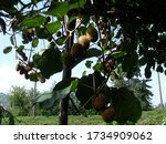 Small photo of Rize / Turkey – 25 September 2007: Image of fresh kiwi fruits on the branches. Kiwifruit plant (Actinidia chinensis) is a semitropical, deciduous, large woody vine belonging to the family of Actinidia