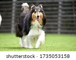 Collie Dog Playing In Dog Run