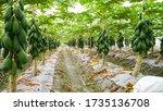 Organic Farming Papaya Farming...